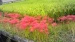 赤ヒガンバナ