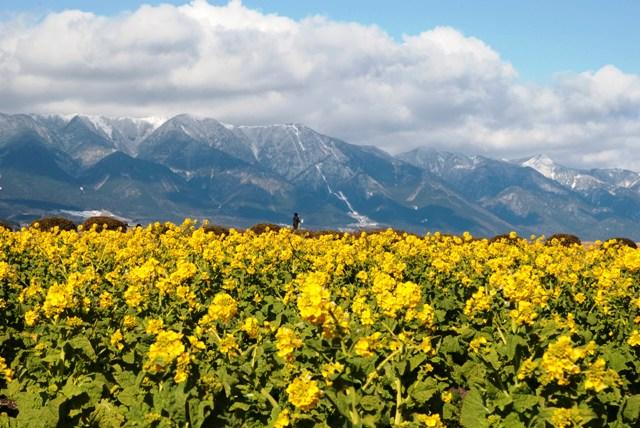 菜の花と雪山