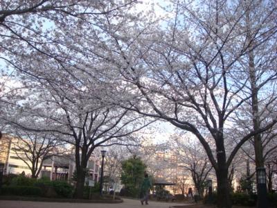 20120406sakura3.jpg