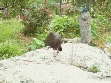 庭のturkey