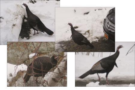 turkey4羽