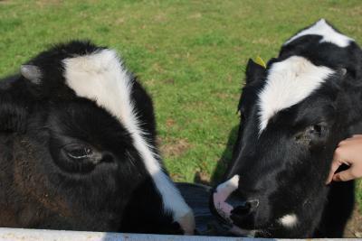 淡路 子牛たち
