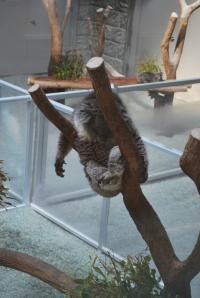 淡路 居眠りコアラ