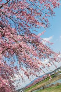 花見 枝垂れ桜2