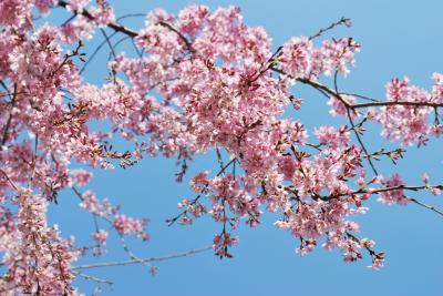 花見 枝垂れ桜3