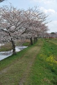 花見 並木道
