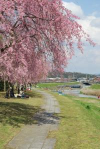 花見 枝垂れ桜4