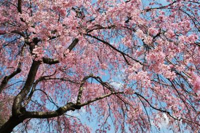 花見 枝垂れ桜6