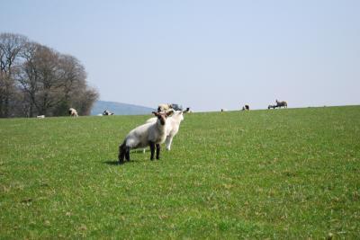 赤ちゃん羊