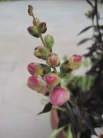 銅葉のキンギョソウ