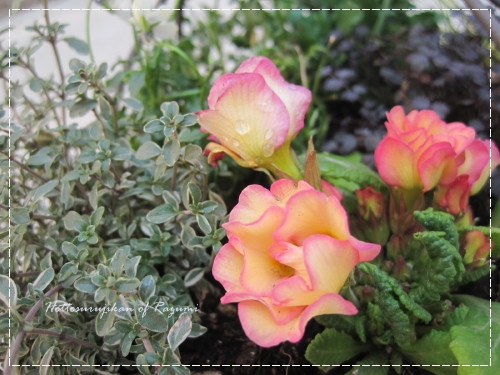 バラ咲きジュリアン プリンアラモード