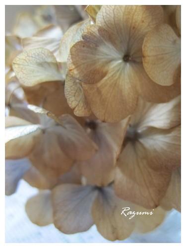 紫陽花ドライ