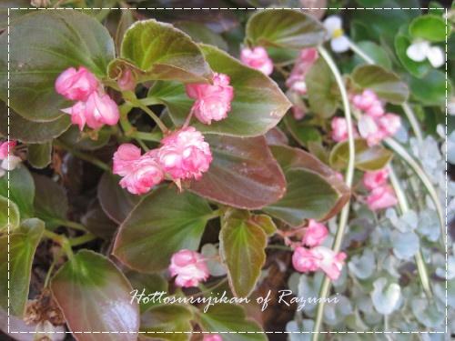 八重咲きベコニア