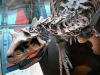 ロス 自然史博物館 カルノタウルス