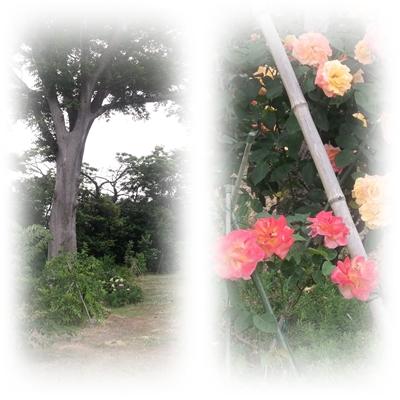 1212アンネのバラ