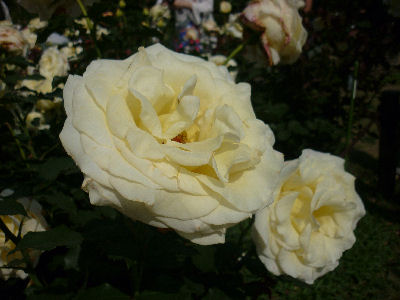 向ヶ丘遊園のきれいなバラ