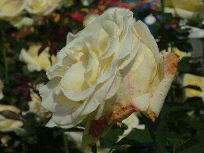 向ヶ丘遊園のきれいなバラ 2