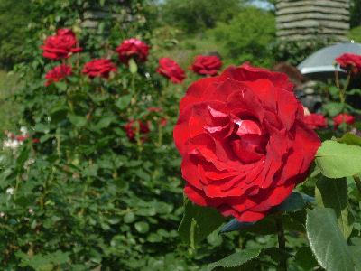 向ヶ丘遊園のきれいなバラ 3
