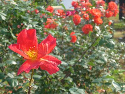 向ヶ丘遊園のきれいなバラ 4