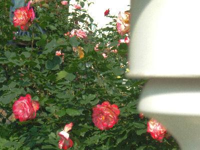 向ヶ丘遊園のきれいなバラ 10