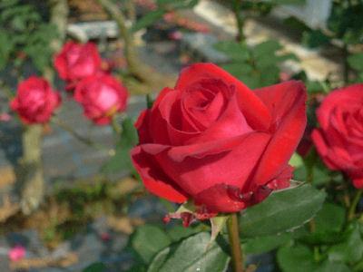向ヶ丘遊園のきれいなバラ 5