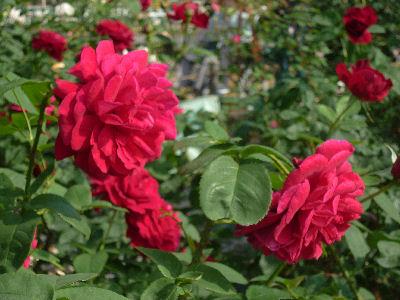 向ヶ丘遊園のきれいなバラ 6