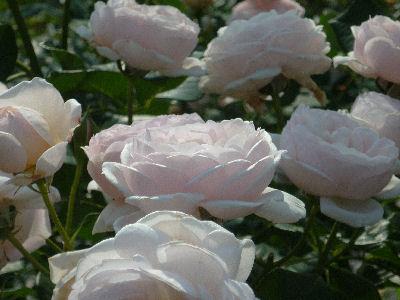 向ヶ丘遊園のきれいなバラ 7