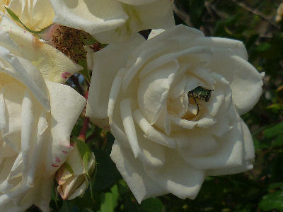 向ヶ丘遊園のきれいなバラ 9