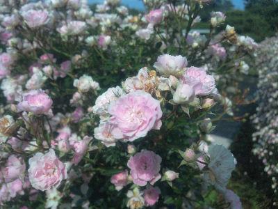 向ヶ丘遊園のきれいなバラ 8
