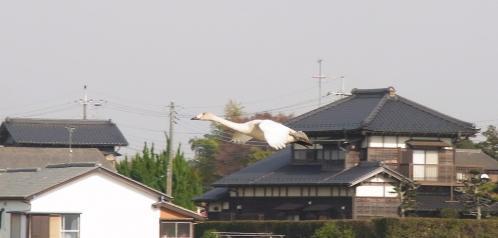 白鳥が来た!2011