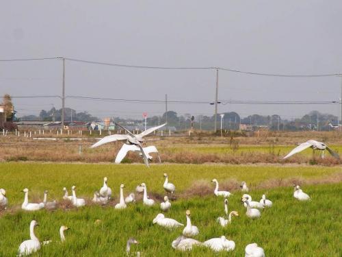 R0017297白鳥が来た!