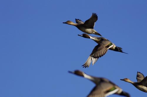 鴨とフライト