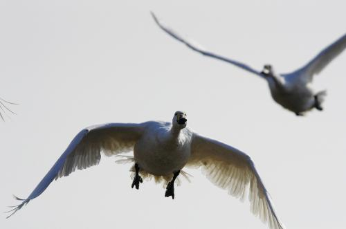 白鳥IMGP5278