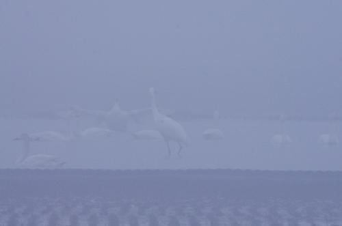 REDB0874 霧のソデグロヅル