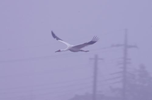 REDB0876 霧のソデグロヅル