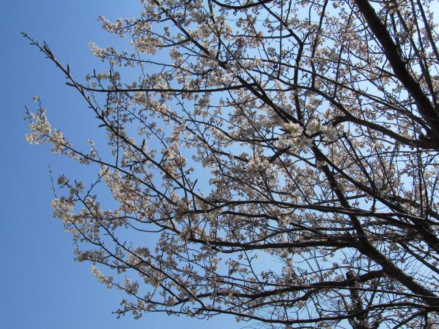 さくらんぼ桜 001