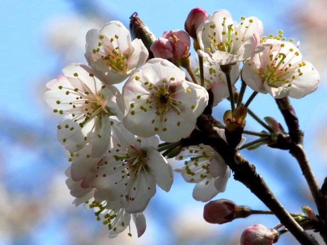 さくらんぼ桜 002