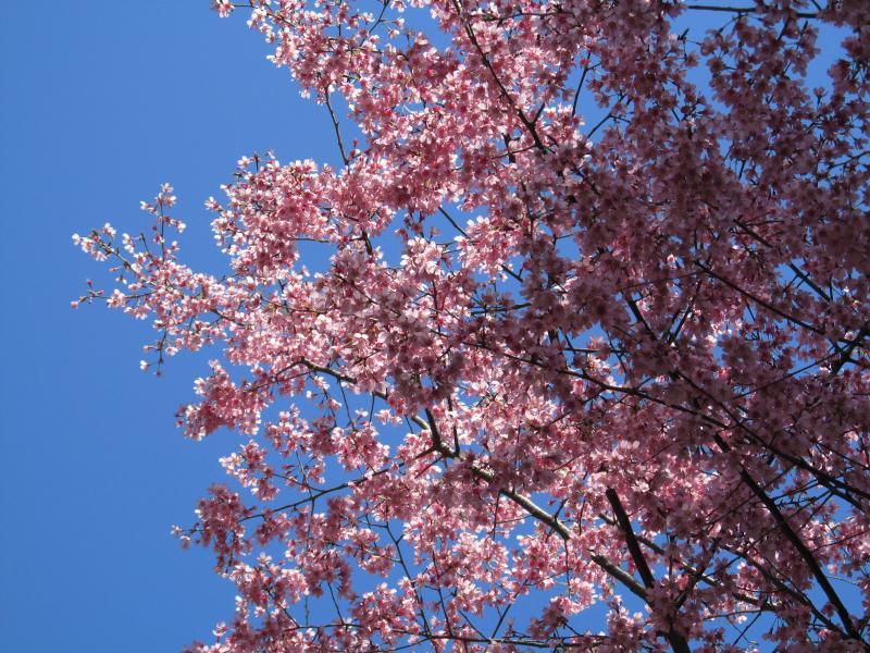 おかめ桜+003_convert_20120329192128