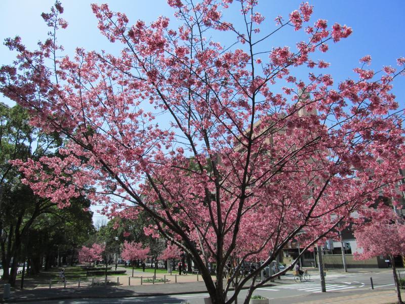 おかめ桜+002_convert_20120329192104