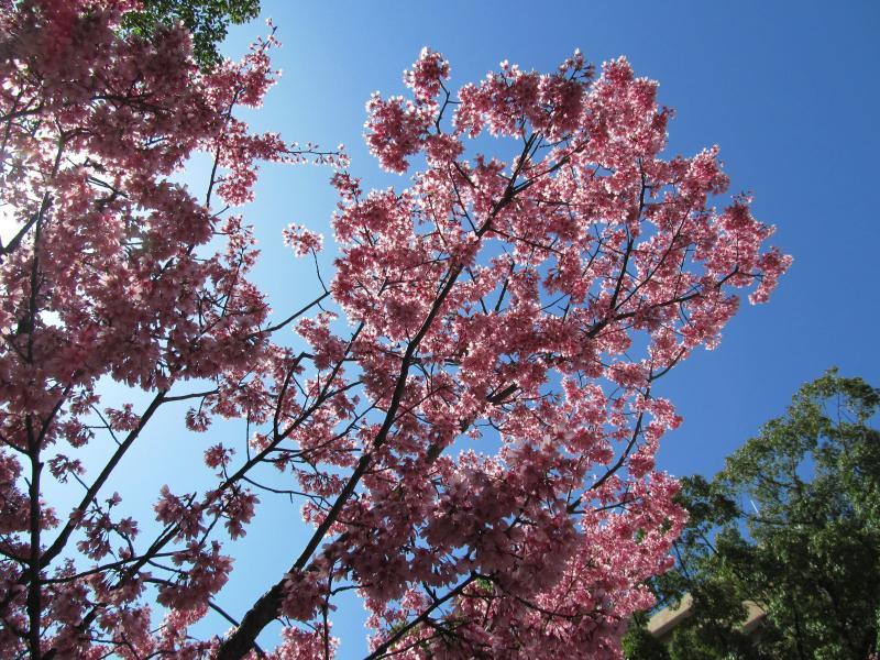 おかめ桜+004_convert_20120329192157
