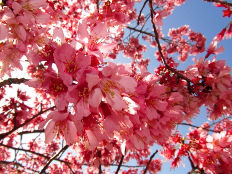 おかめ桜+005_convert_20120329192217