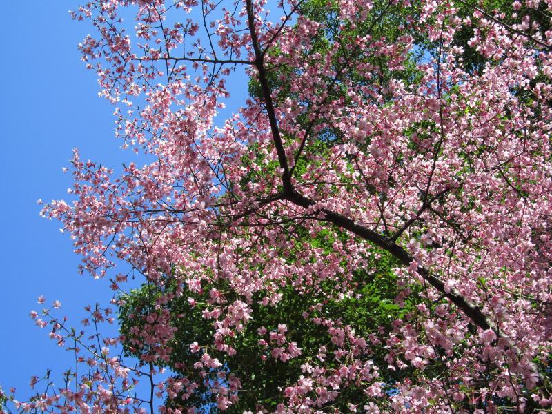 おかめ桜+009_convert_20120329192419