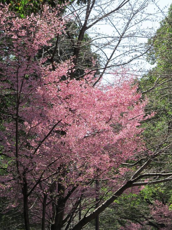 おかめ桜+008_convert_20120329192357