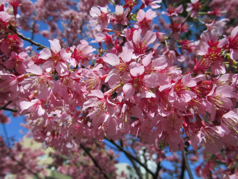 おかめ桜+007_convert_20120329192327