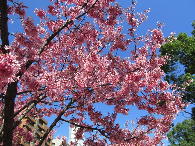おかめ桜+006_convert_20120329192306