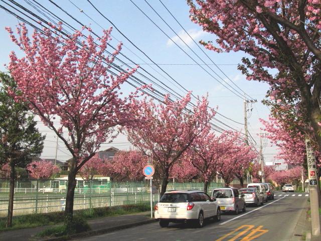 八重桜並木01