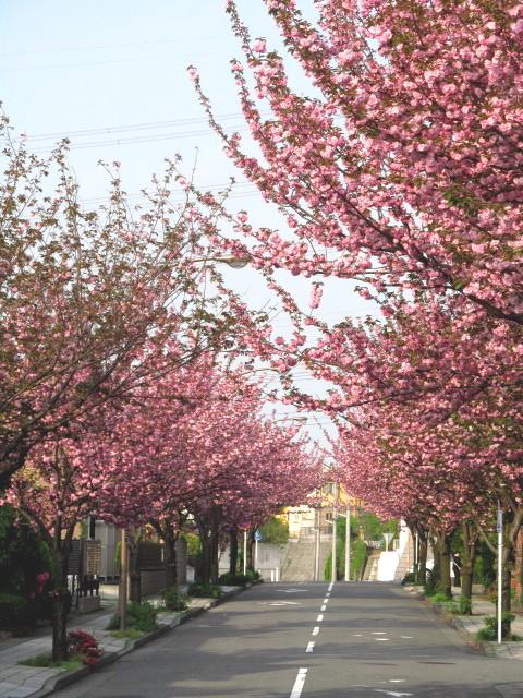 八重桜並木02