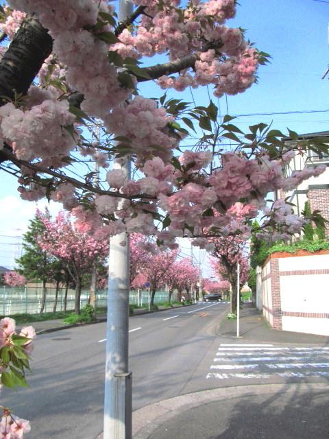 八重桜並木03