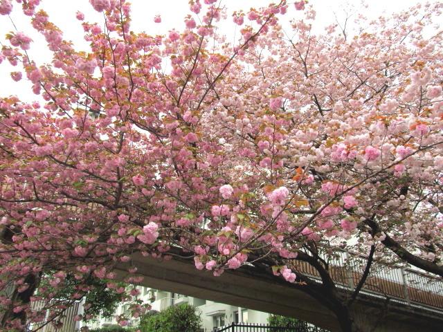 八重桜並木04