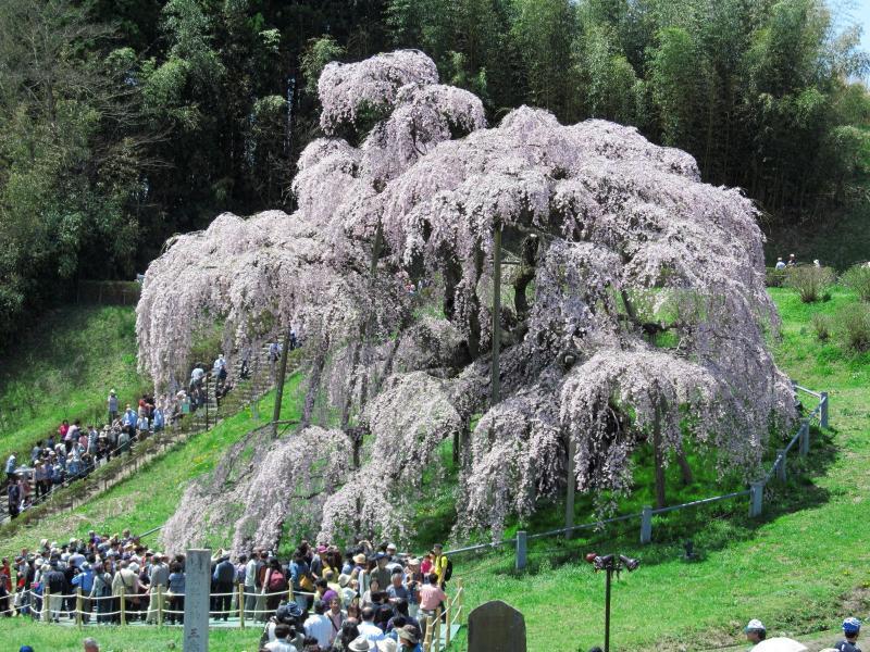 三春滝桜01_convert_20120430125313